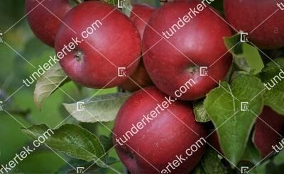 Jonathán (csányi 1) alma