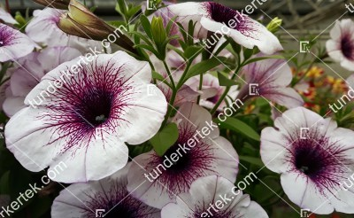 Lilaeres fehér petúnia