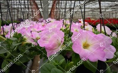 Rózsaszín felhő petúnia