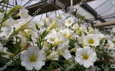 Fehér megbocsátás petunia