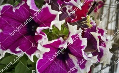 Rózsaszínű fodros petunia