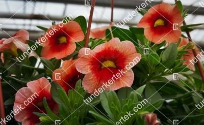 Narancsos csók mini petunia
