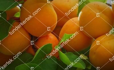 Ananász kajszi