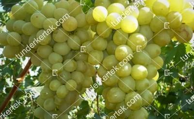 Antonij Velikij csemegeszőlő