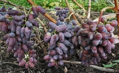 Bajkonur csemegeszőlő