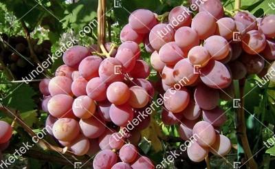 Favor csemegeszőlő