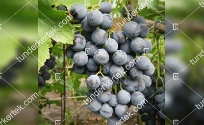 Fekete Michael csemegeszőlő