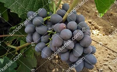 Gála csemegeszőlő