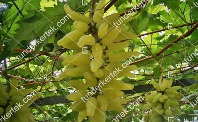 Gold finger csemegeszőlő
