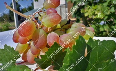 Preobrazsenie csemegeszőlő