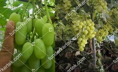 Vega zaporovszkaja csemegeszőlő