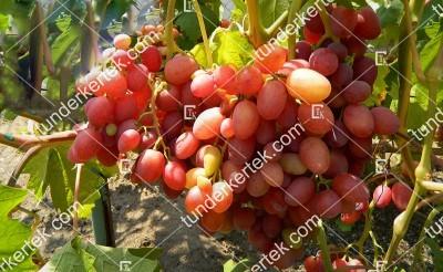 Anzselika csemegeszőlő