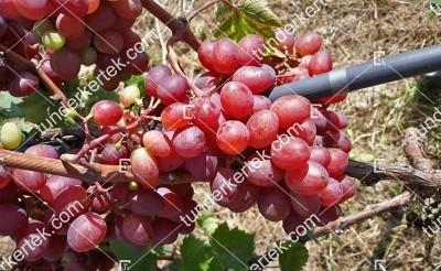 Pamjati ucsitelja csemegeszőlő