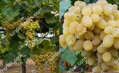 Augusztin csemegeszőlő