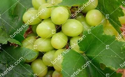 Garold csemegeszőlő