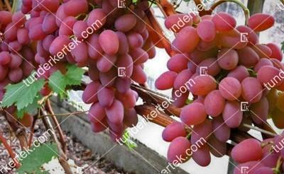 Gelios csemegeszőlő