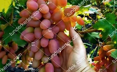 Julián csemegeszőlő
