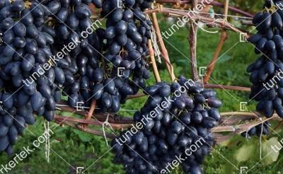 Kadriánka csemegeszőlő