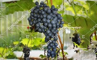Kraszeny csemegeszőlő