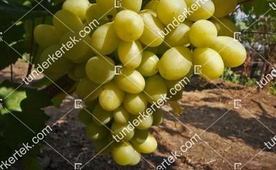 Sindikat csemegeszőlő