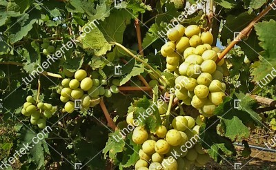 Smaragd csemegeszőlő