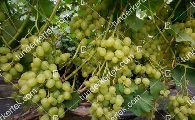 Szuper extra csemegeszőlő