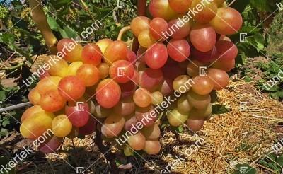 Taszon csemegeszőlő