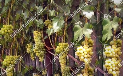 Zlatogor csemegeszőlő