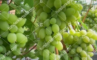 Alexa pannjaja csemegeszőlő