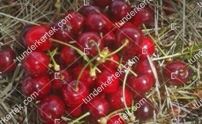 Korai cseresznye (Tamási)