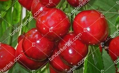 Rita cseresznye