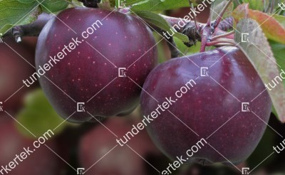 Arkansasi fekete alma