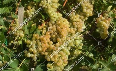 Pölöskei muskotály csemegeszőlő