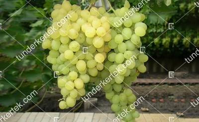 Vosztorg csemegeszőlő
