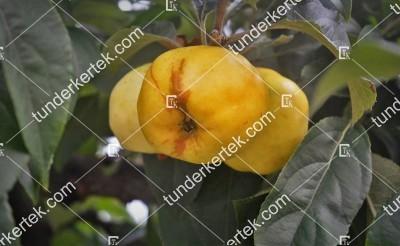 Szentiványi alma