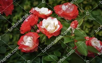 Nosztalgia rózsa