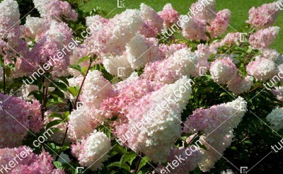 Eper-vanília hortenzia