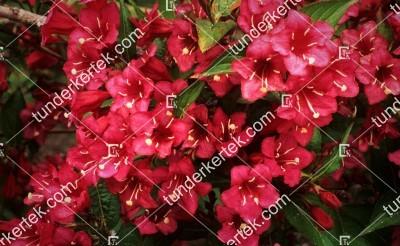Red Prince rózsalonc