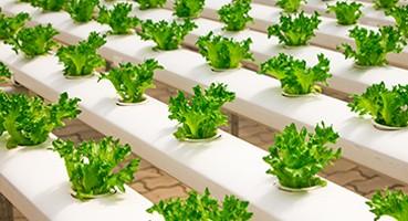 Zöldségpalánták
