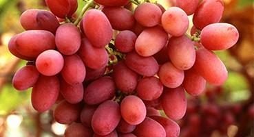 Mag nélküli csemegeszőlő oltványok