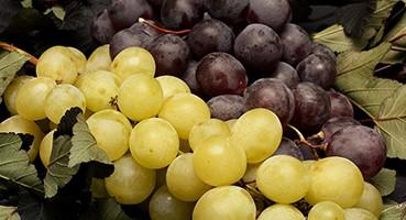 Rezisztens szőlőfajták