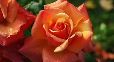 Teahibrid rózsák