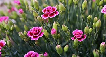 Virágzó évelők