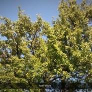 Árpával érő körte fája