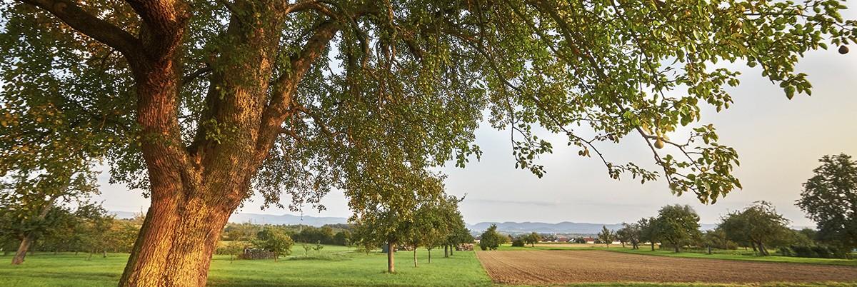 Tévhitek a régi-, ősi gyümölcsfajták gondozásáról