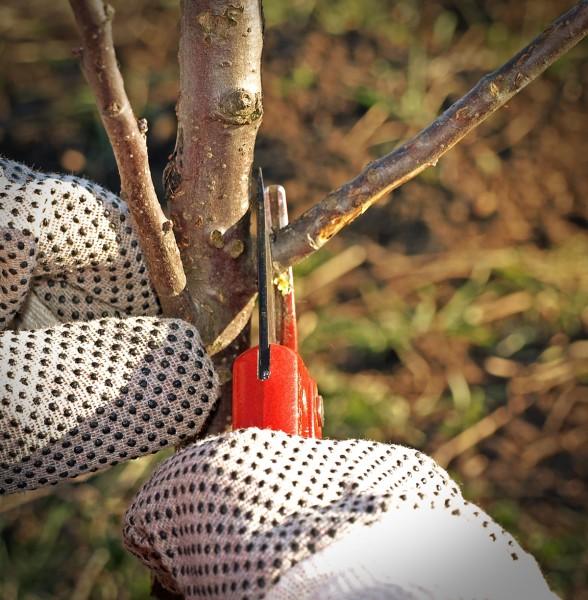A körte és az alma téli metszése