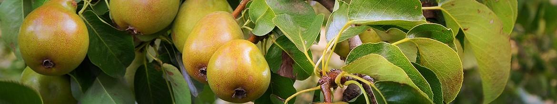 A körte és az alma nyári metszése
