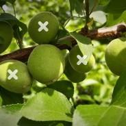 Gyümölcsritkítás