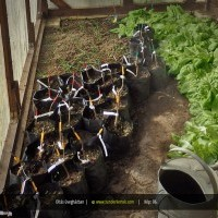 Oltás üvegházban