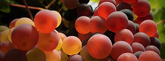 Csemege- és borszőlő webáruház